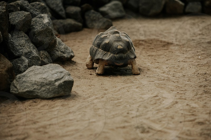 A turtle walks slowly away from me photo