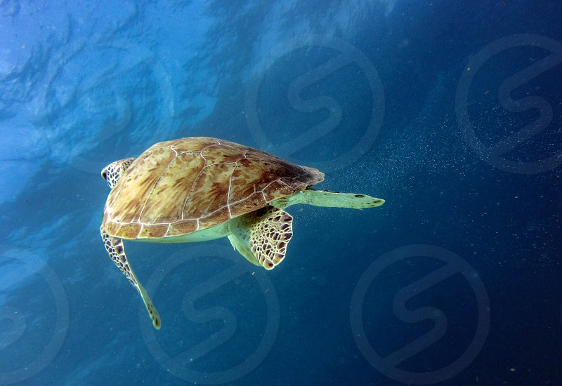 Green sea turtle surfacing on the Mexican Caribbean  photo