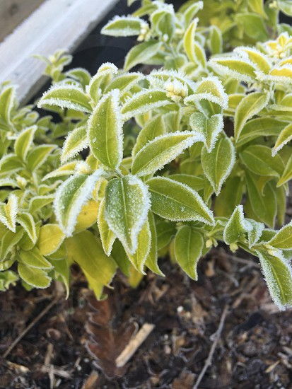Frost on the edge of plants photo