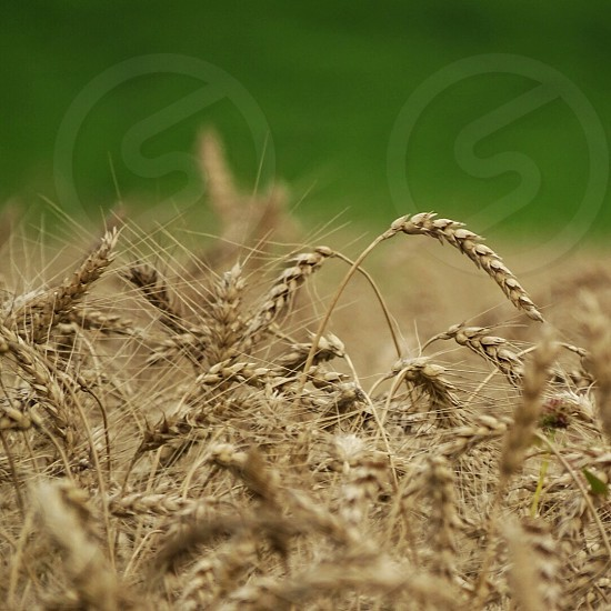 selective focus photography of wheat with green color as background photo