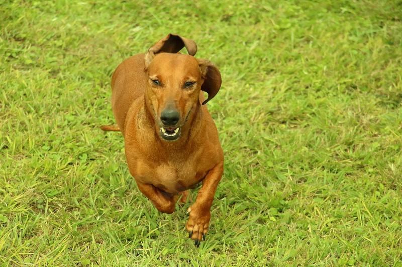 dachshund running in the park photo