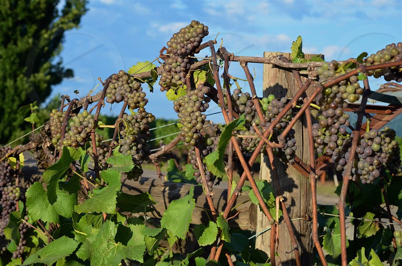 Grapes of Oregon photo