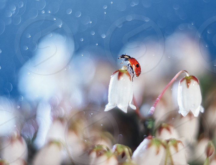 Ladybug spring flowers bokeh drops rain insects ladybird garden photo