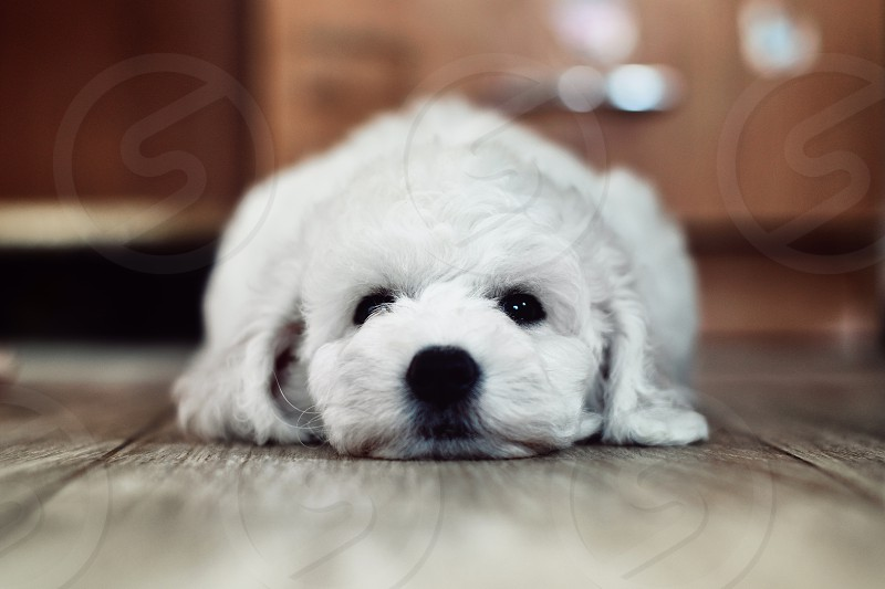 closeup photograph of white long coat puppies lying on wooden floor photo