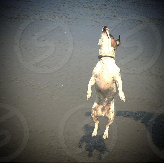 Jumpin' jack russell photo