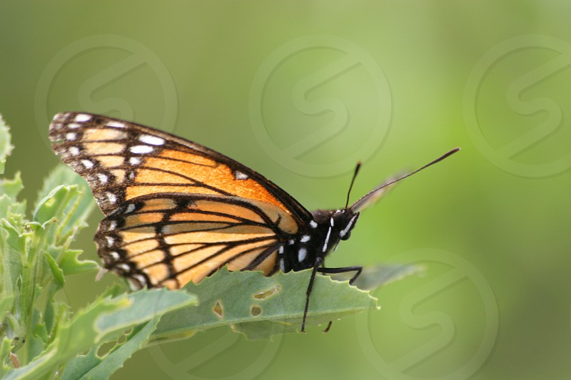 Monarch Butterfly Green Leave Leaf photo