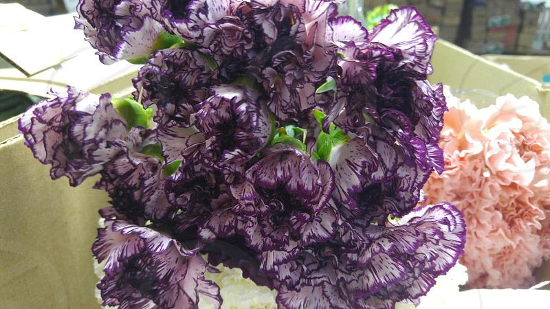 carnations before market photo