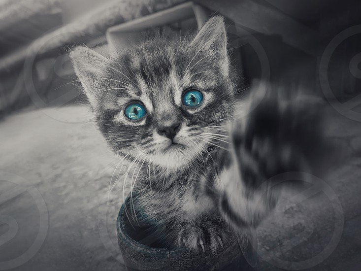 Close up black and white portrait of a cute little striped kitten with the pow outstretched to camera looking curious with the blue eyes selective color effect. photo