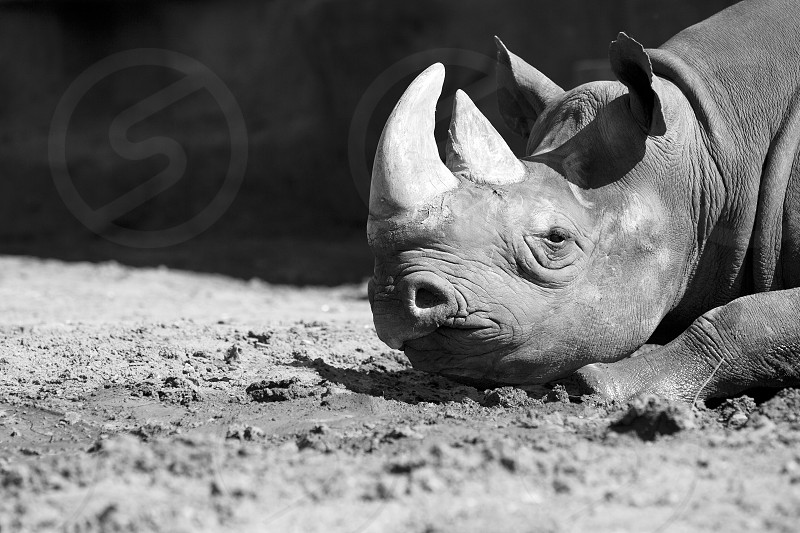 black and white hopeless alone exhausted rhinoceros africa wildlife rhino animal big vertebrate single nature large ground environment tired sleepy rhinos sleeping outdoors animals reserve laying male horn endangered sad one sick photo