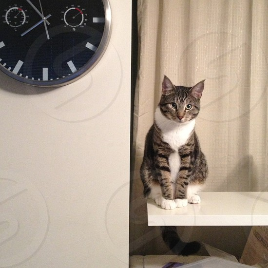 gray tuxedo cat photo