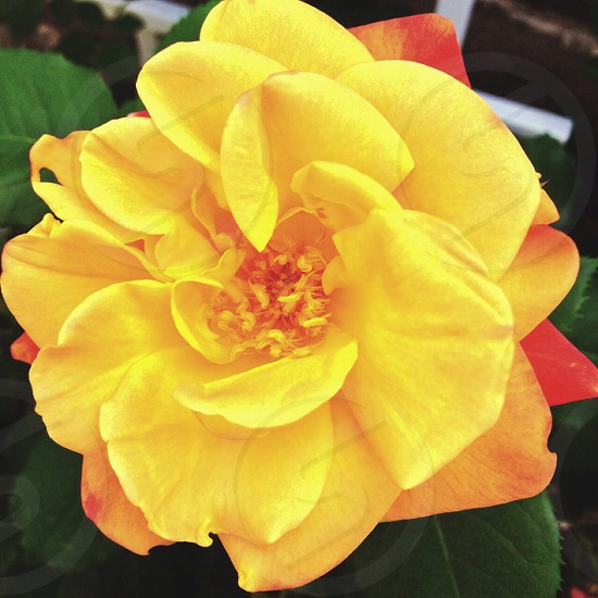 #flower #yellow #beautiful #pretty #floral  photo
