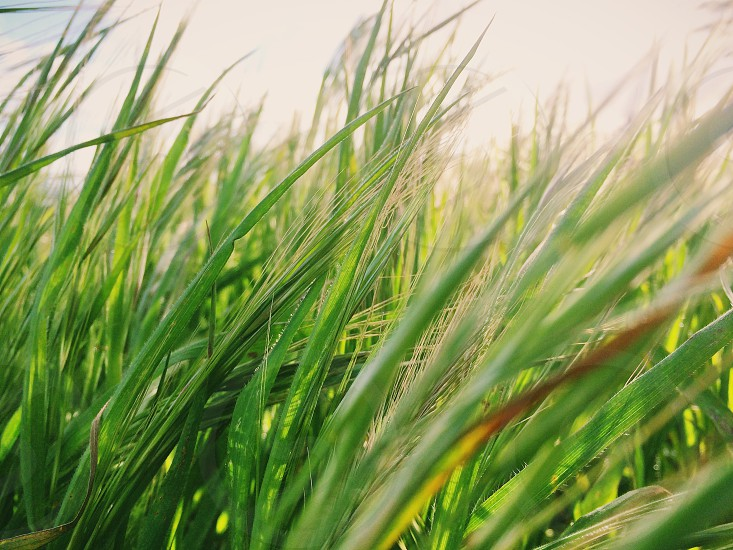 green wheat photo