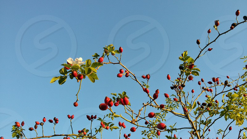 Dog rose berries and flower against blue sky in November. Umbria Italy photo