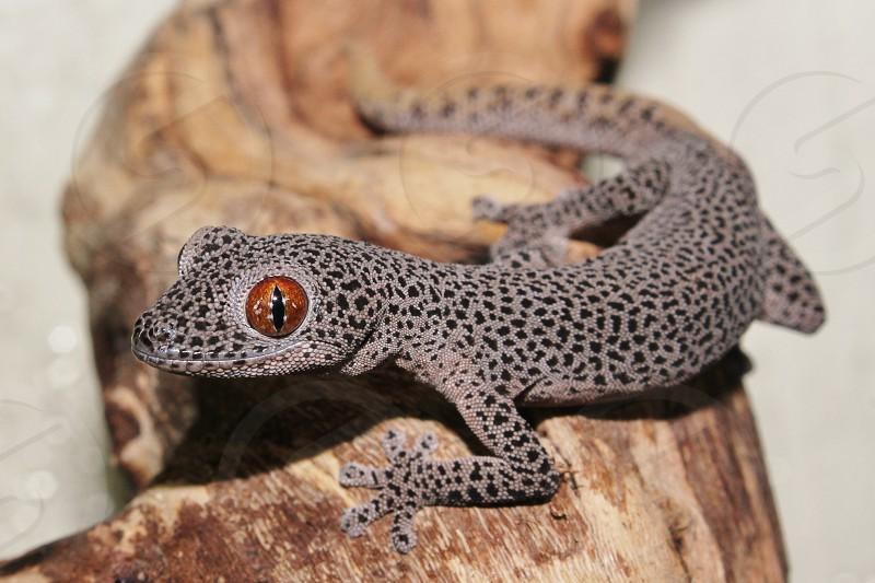 Australian Golden Tailed Gecko photo