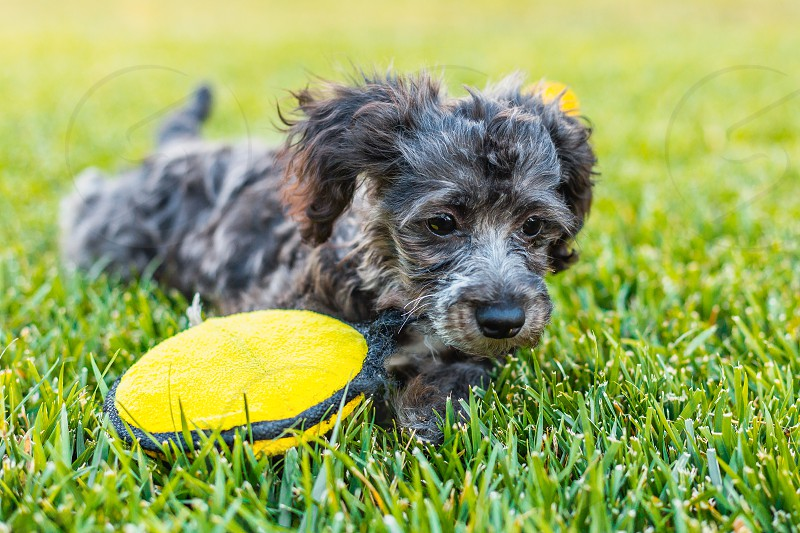 puppy dog grass bella play playful pup out doors photo