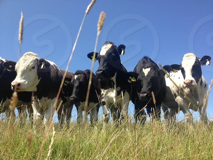 Cows; field Dorset Jurassic Coast dairy grass field countryside England healthy friendly animals  photo