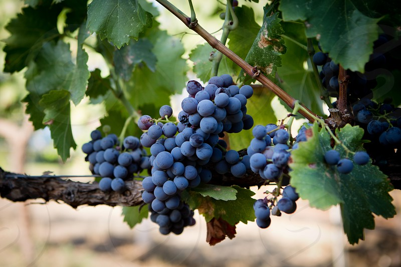 Grapes on a vine. photo