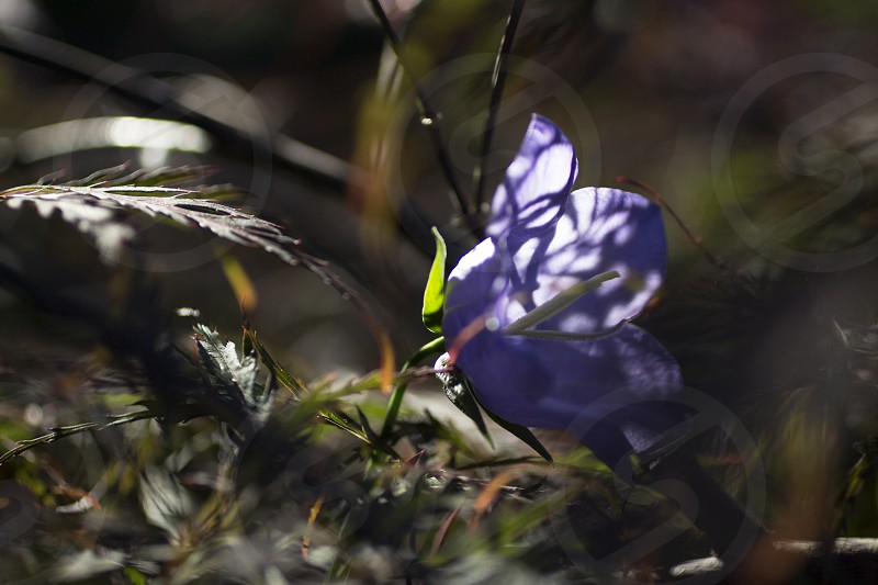 I like the tenacity of this wildflower pushing out through the top of the Japanese maple in search of the light. photo