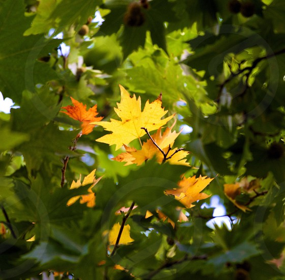 Yellow plane tree leaf surrounded green leafs. photo