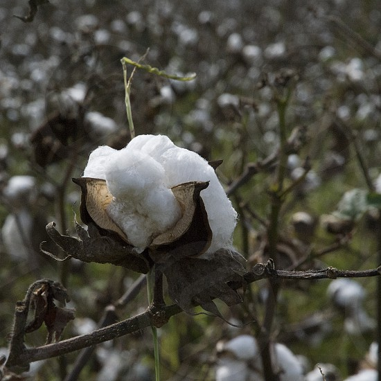 Cotton boll in field photo