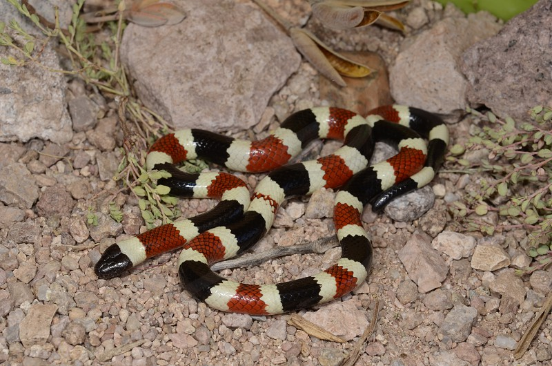 """""""Red touch yellow kill a fellow..."""" -- Sonoran coral snake (Micruroides euryxanthus). photo"""