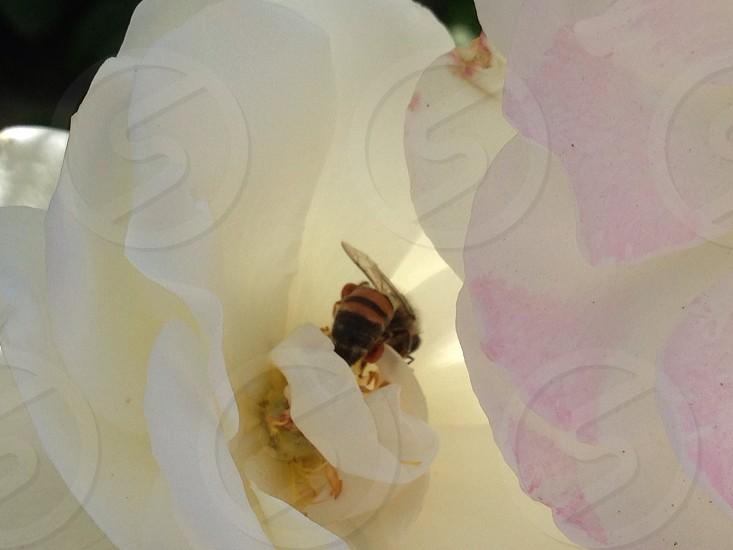 beige and black bee photo