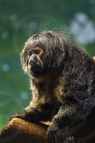 A female White-Faced Saki Monkey photo