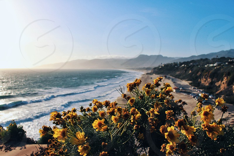 yellow flowers on hill top with ocean view photo