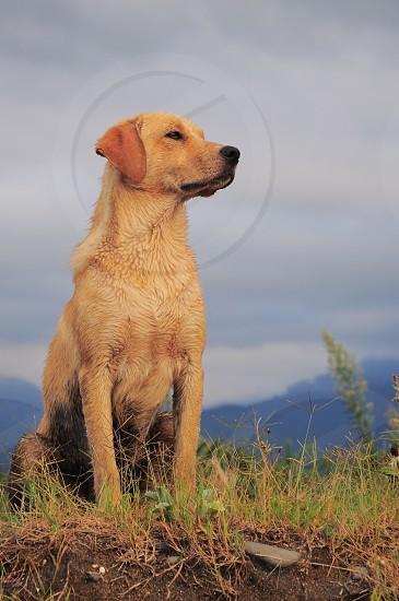 yellow lab dog in grass photo