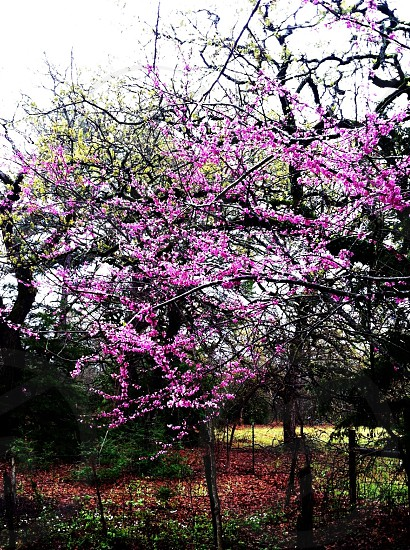 Spring color redbud woods trees blossoms  photo