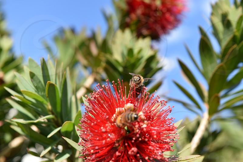 Bees and Bottle Brush bushes photo