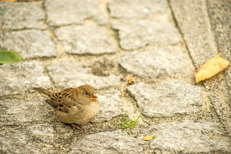 house sparrow in a pedestrian area photo