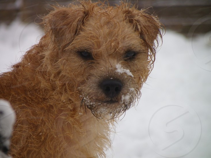 First snow Pippy the Patterdale Terrier x photo