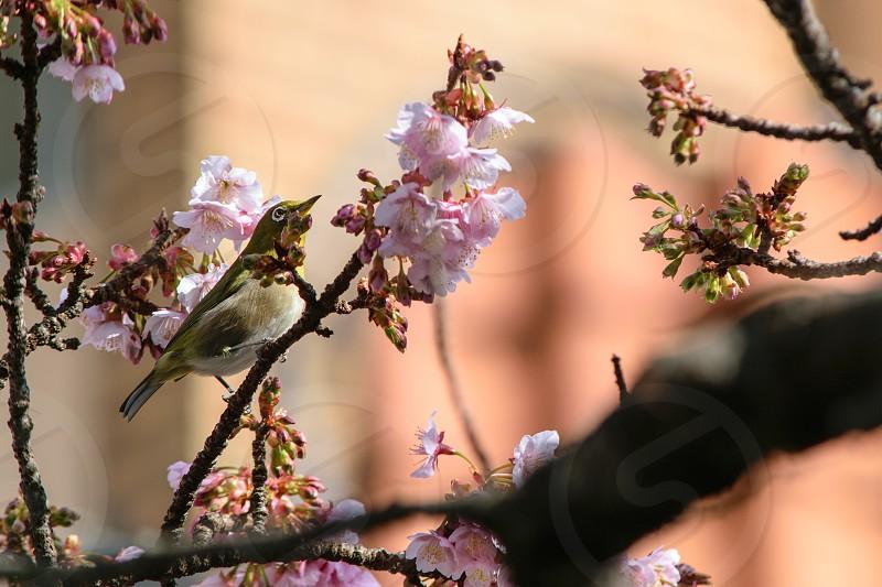 Cherry Blossom and White-eye photo