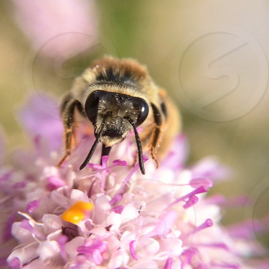 Macro of a bee on a pincushion flower photo