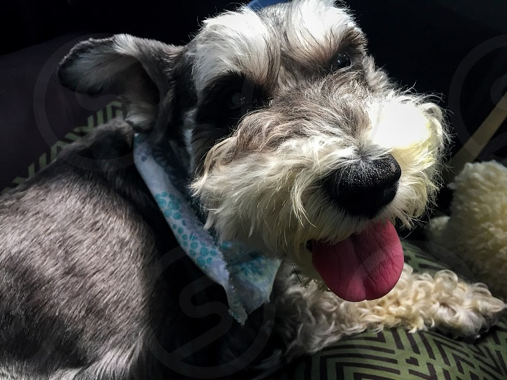 Pet; dog; love; animal; miniature schnauzer; smile; happy photo