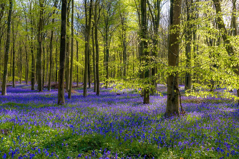 bluebells bluebell spring woodland light blue green shadow countryside photo
