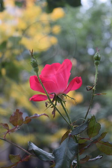 One Pink Rose photo
