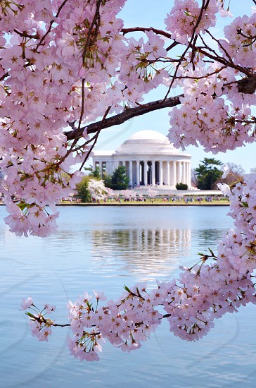 washington dc cherry blossoms spring pink flower memorial flower bloom festival photo