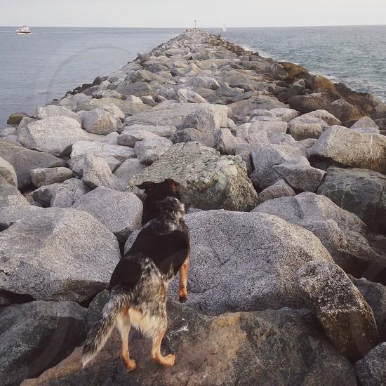 black white and brown medium sized dog  standing on rocks photo