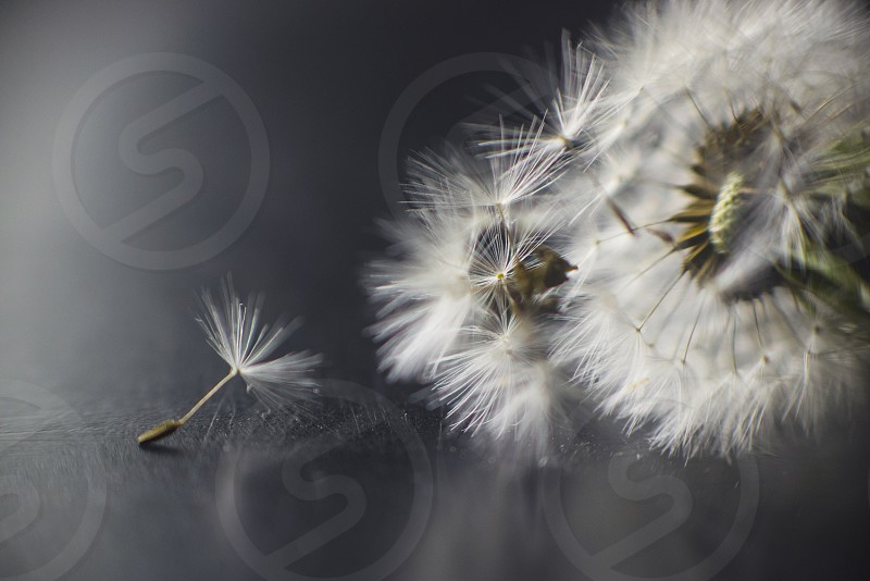 dandelion spring photo