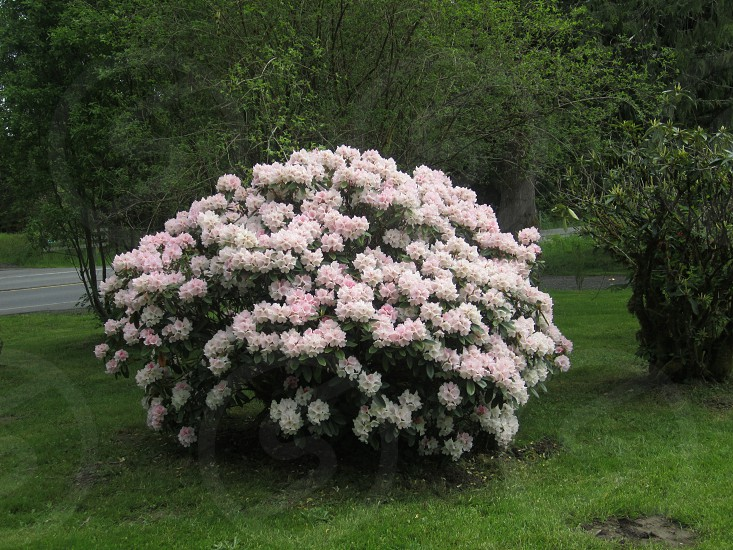 Beautiful rhododendron bush in Forks WA photo