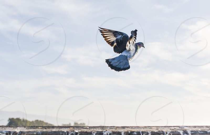 pigeon bird fly wings photo