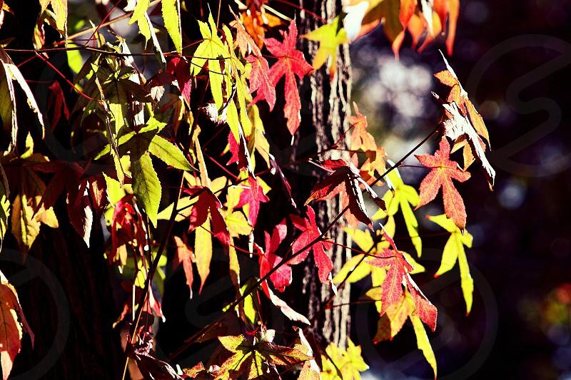 Maple leaves- Orange CA photo