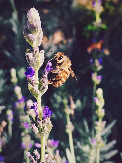 honeybee on purple flower photo