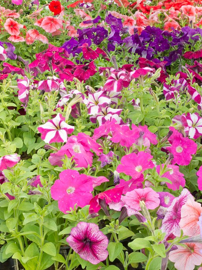 Horticulture lots of multi-colored petunias for spring sale in commercial garden center photo