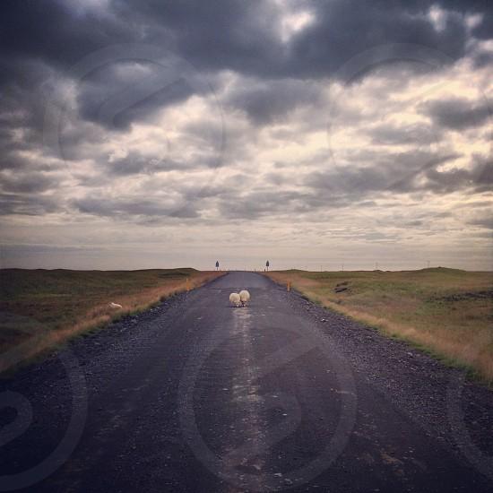 Sheep on Icelandic highway photo