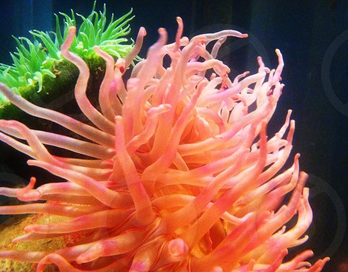 Sea anemones  photo