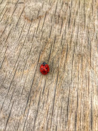 Ladybird spring photo
