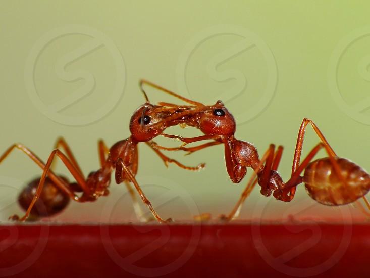 Happy ant couple in love  photo